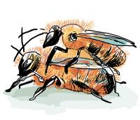 Rote Mauerbienen (Osmia bicornis) bei der Paarung