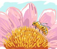 Westliche Honigbiene beim Pollensammeln auf einem Sonnenhut (Echinacea)
